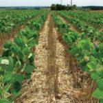 Plantas de Cobertura de Solo e adubaçao verde