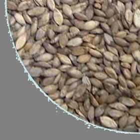 Brachiaria Decumbens 2
