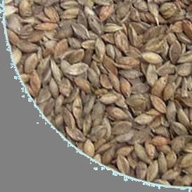 Brachiaria humidicola2