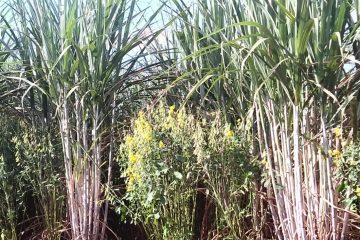 Uso da Crotalária Spectabilis na Cultura do Milho Safrinha para aumento da Produtividade Real da Soja Seguinte