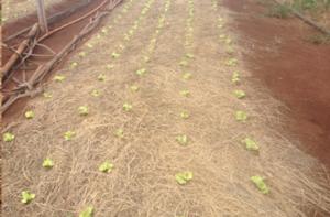 palhada de milheto em plantio de alface