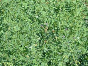semente Alfafa Crioula