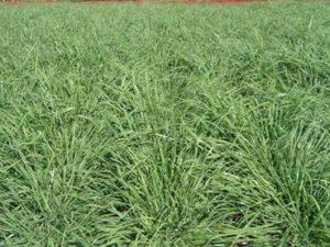 semente Massai