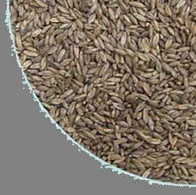 semente Massai2