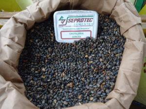 sementes de crotalaria juncea